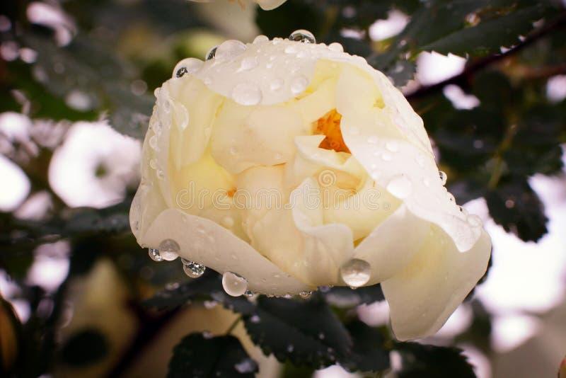 Struiken van witte rozen, zacht effect royalty-vrije stock afbeelding
