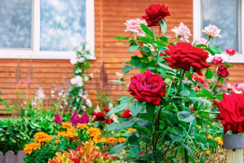 Struikenrozen dichtbij het huis in openlucht Het modelleren van de plaats Het sier tuinieren stock afbeeldingen