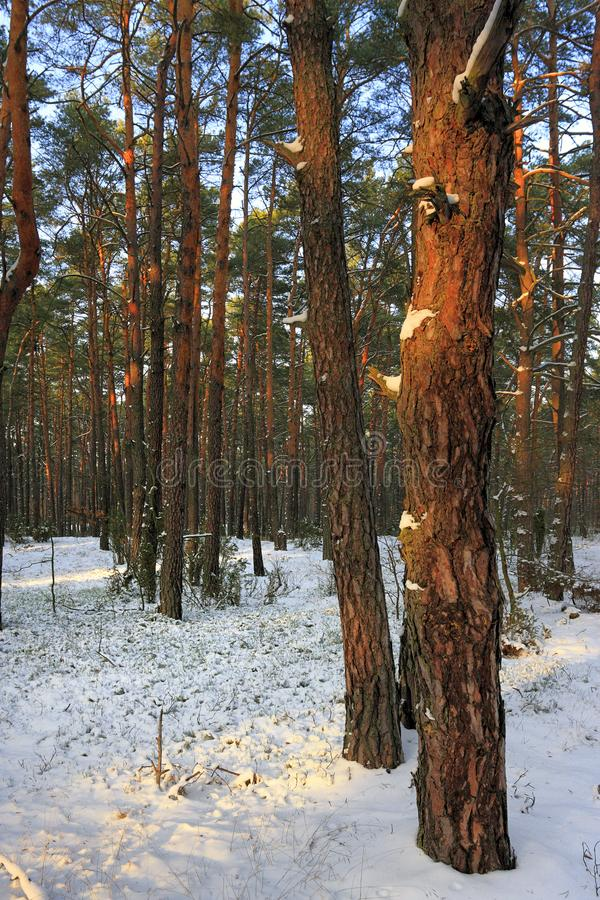 Struikgewas van bomen en struiken van een natuurlijk bos in de winter stock foto