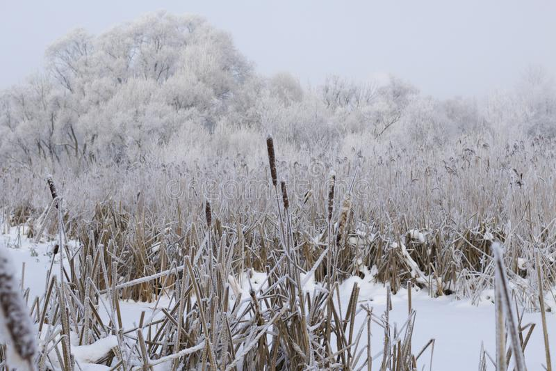 Struikgewas van droog die riet met sneeuw wordt behandeld Het park van de winter De struiken en de bomen zijn behandeld met dikke stock fotografie