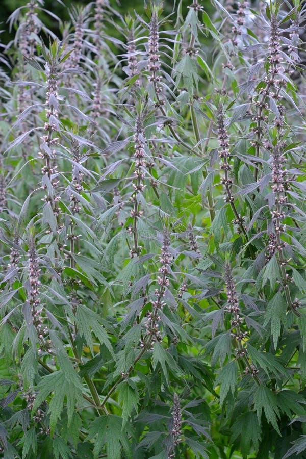 Struikgewas van motherwort ruwharige vijf-met bladen (Leonurus-quinquelobatus L ) royalty-vrije stock afbeeldingen