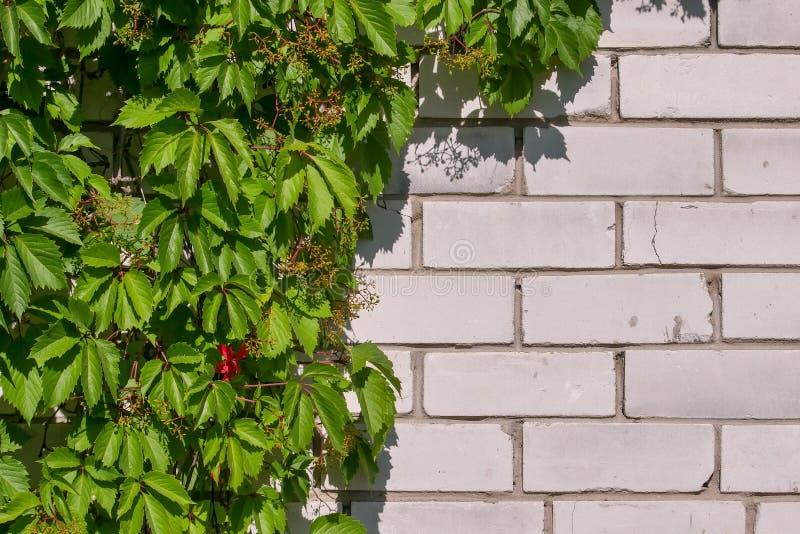 Struikgewas van wilde druiven op een witte bakstenen muur Natuurlijke achtergrond van groene bladeren De zonnige dag van de zomer royalty-vrije stock foto's