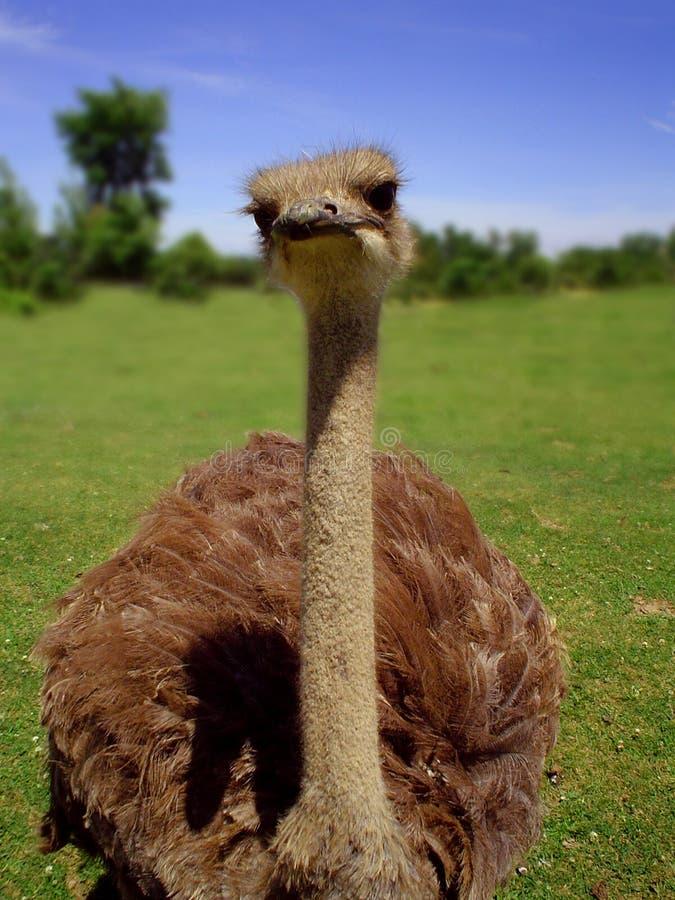Struisvogel stock foto