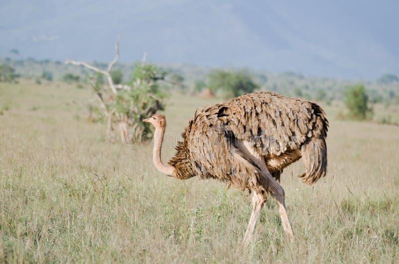 Struisvogel in Afrika stock afbeeldingen