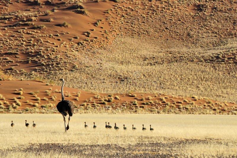 Struisvogel, avestruz, camelus del Struthio imagen de archivo libre de regalías