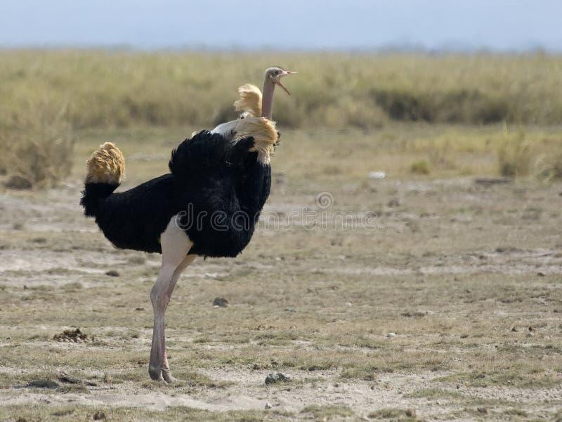 Struisvogel, avestruz, camelus del Struthio imagenes de archivo