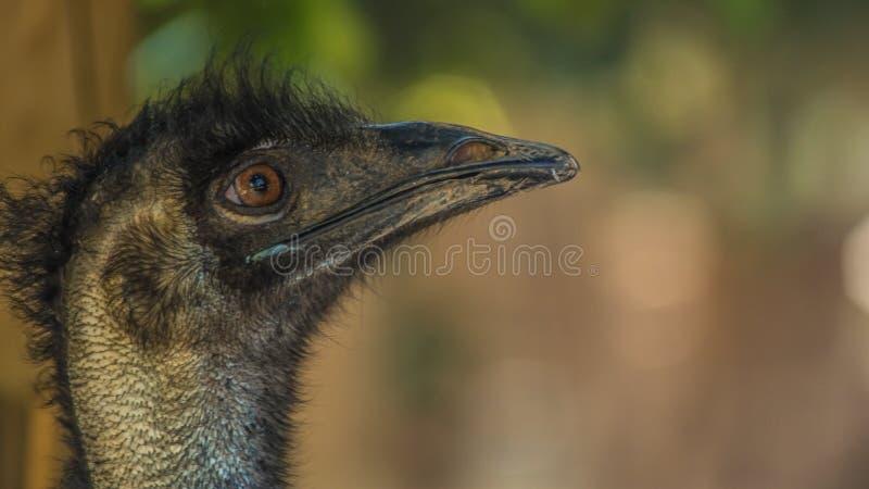 Struisvogel in de Cuprys-dierentuin stock foto
