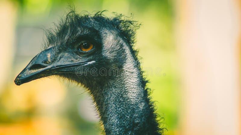 Struisvogel in de Cuprys-dierentuin stock foto's