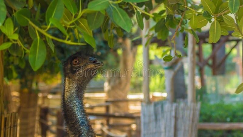 Struisvogel in de Cuprys-dierentuin stock afbeelding