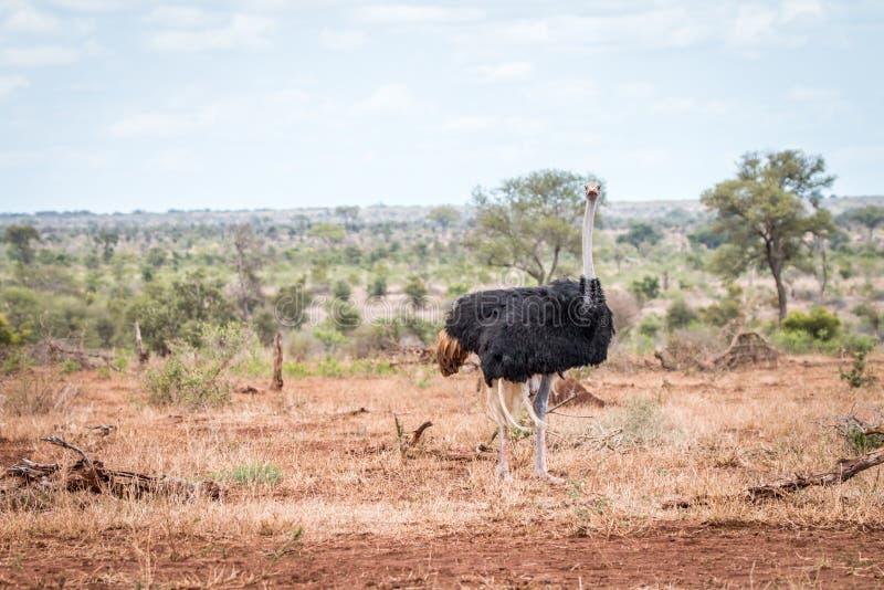 Struisvogel die in de struik lopen stock foto's
