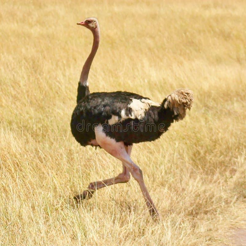 Struisvogel die in de wildernis lopen stock afbeeldingen