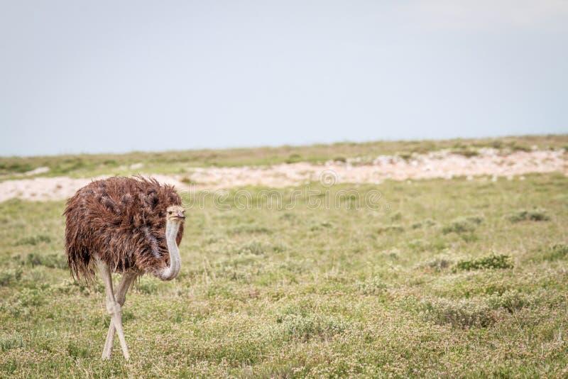 Struisvogel die in het gras lopen royalty-vrije stock fotografie