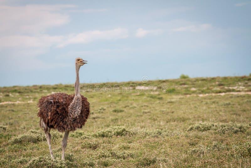 Struisvogel die in het gras lopen royalty-vrije stock afbeeldingen