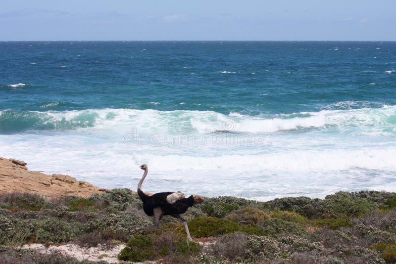 Struisvogel die langs de overzeese kust lopen stock afbeeldingen