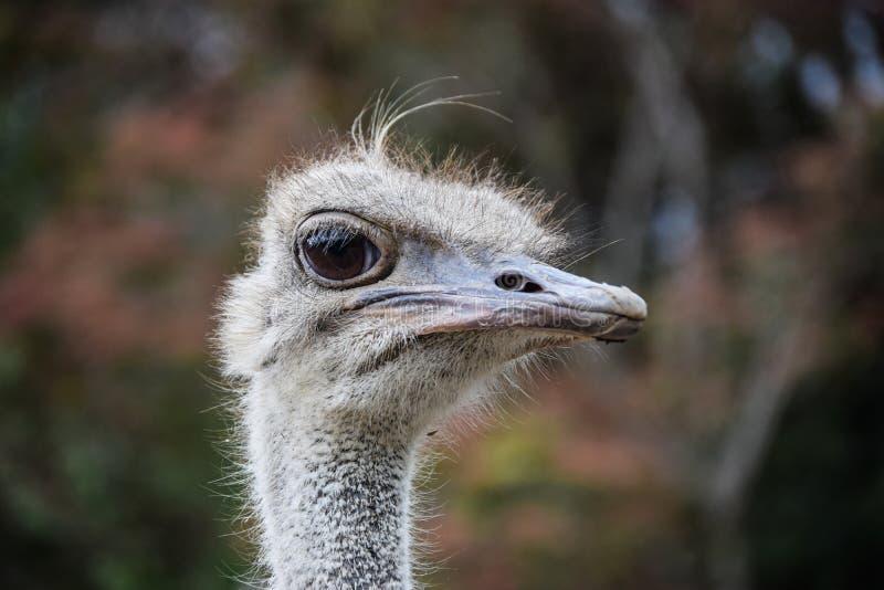 Struisvogel die op de fotograaf dicht letten royalty-vrije stock fotografie