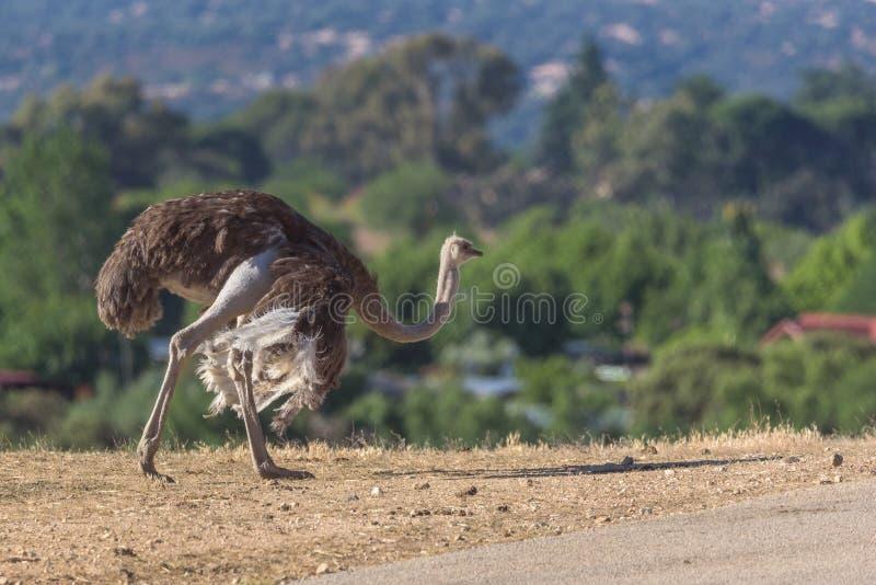 Struisvogel die op een zonnige dag lopen royalty-vrije stock afbeelding