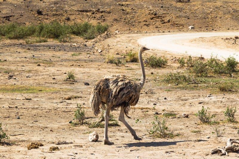 Struisvogel die over de savanne lopen Amboseli, Kenia stock foto's