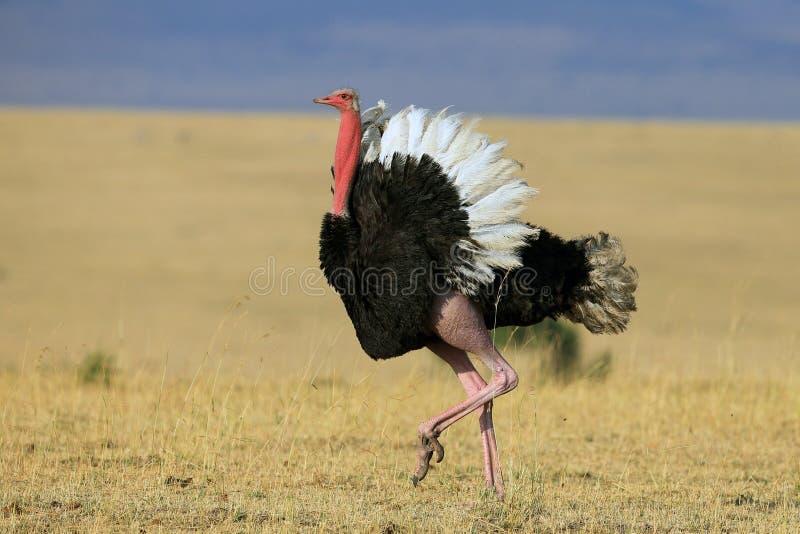Struisvogel, die zijn materiaal strutting stock fotografie