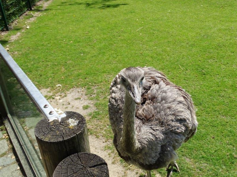 Struisvogel in dierentuin in Beieren in Duitsland in Augsburg royalty-vrije stock fotografie
