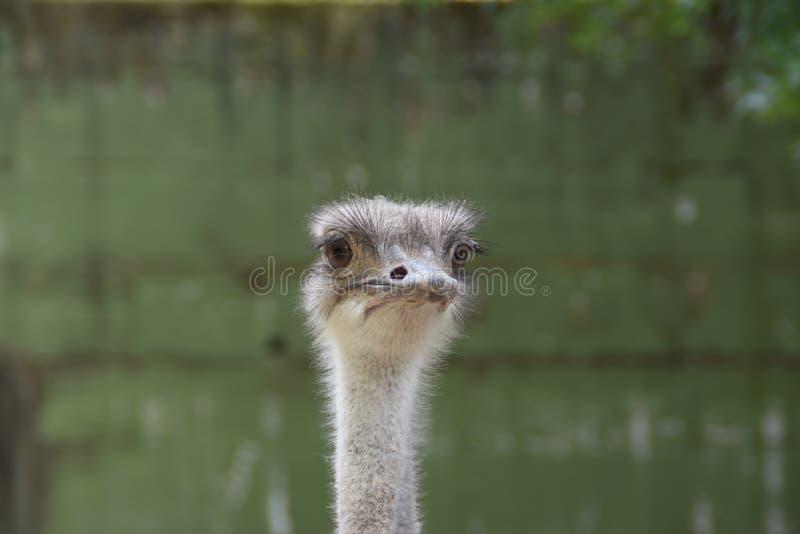 Struisvogel dierlijke dierentuin royalty-vrije stock afbeeldingen