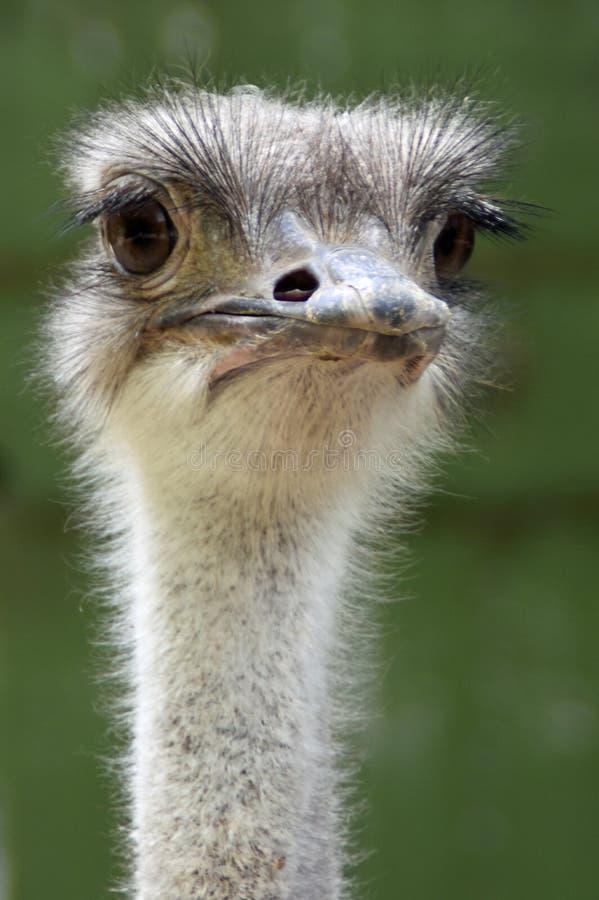 Struisvogel dierlijke dierentuin stock foto