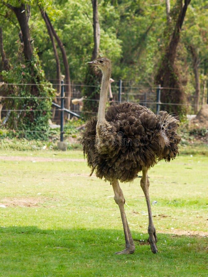 Struisvogel het lopen royalty-vrije stock afbeeldingen