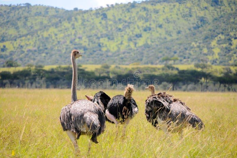 Struisvogel in het nationale park van Tanzania stock foto