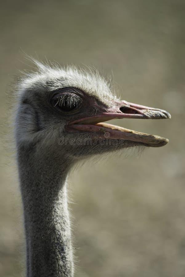 Struisvogel hoofd zijaanzicht stock foto