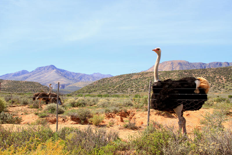 Struisvogel in Karoo stock afbeeldingen