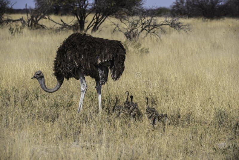 Struisvogel met jonge kuikens stock foto's