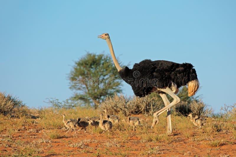 Struisvogel met kuikens stock foto's