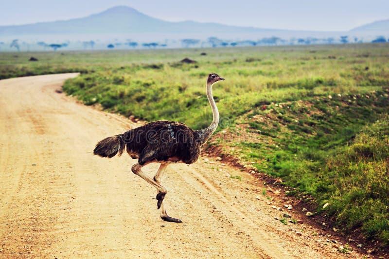 Struisvogel op savanne, safari in Tanzania, Afrika stock foto's