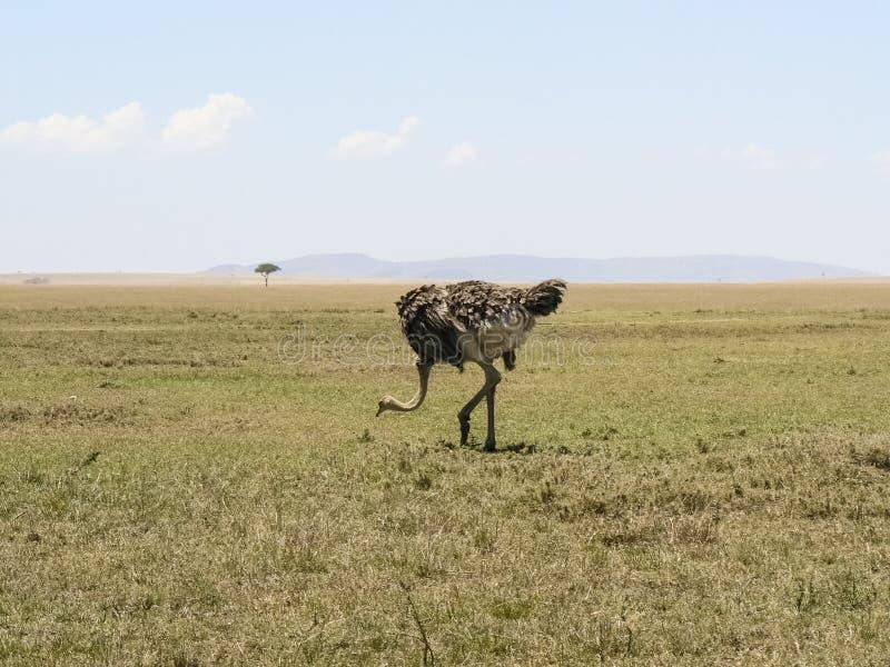 Struisvogel in Savannah Safari in Kenia royalty-vrije stock afbeeldingen