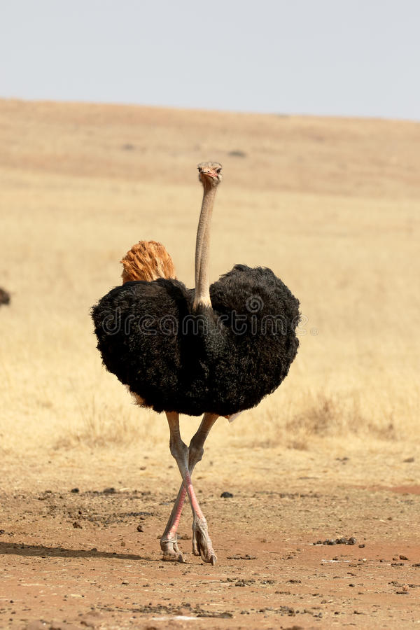 Struisvogel, Struthio-camelus royalty-vrije stock fotografie