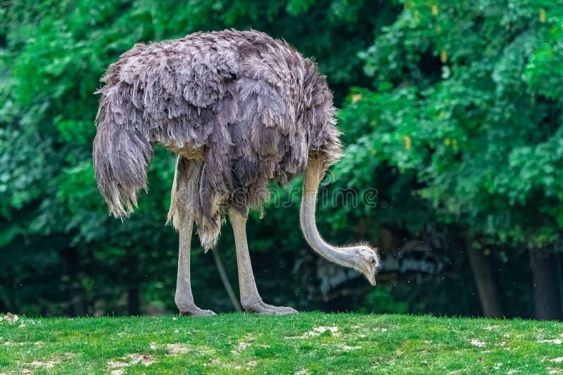 Struisvogel, vogel royalty-vrije stock foto