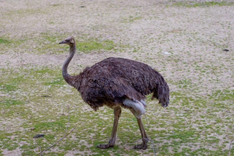 Struisvogelemoe in dierentuin stock afbeeldingen