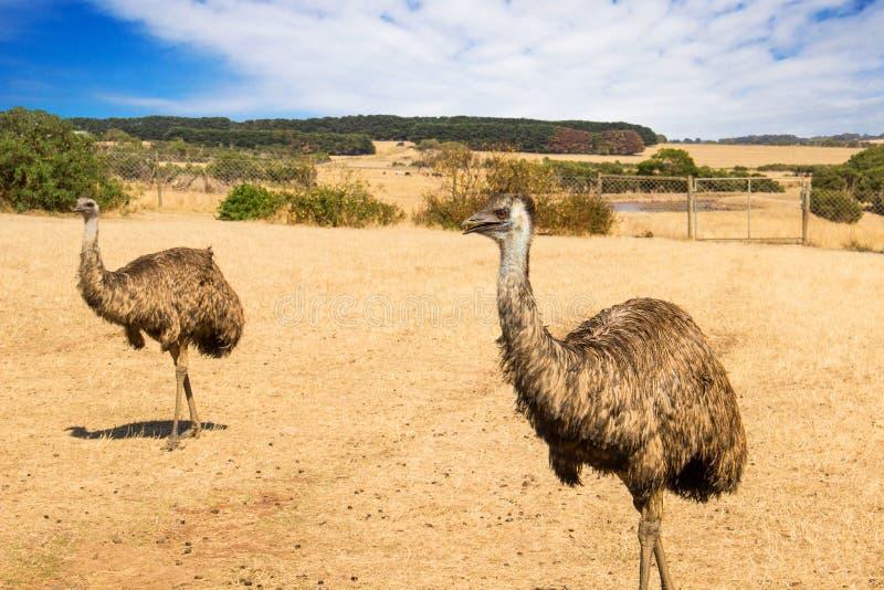 Struisvogelemoe in het park van het het eilandwild van Phillip. Australië stock afbeeldingen