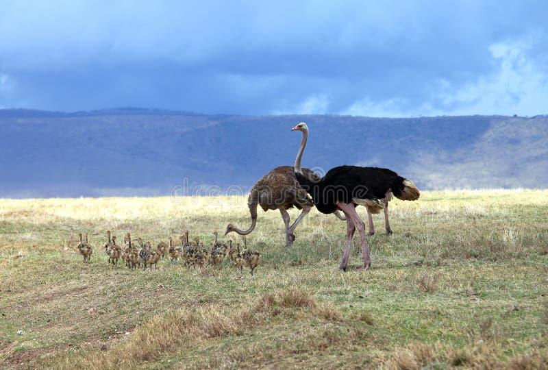 Struisvogelfamilie stock foto's