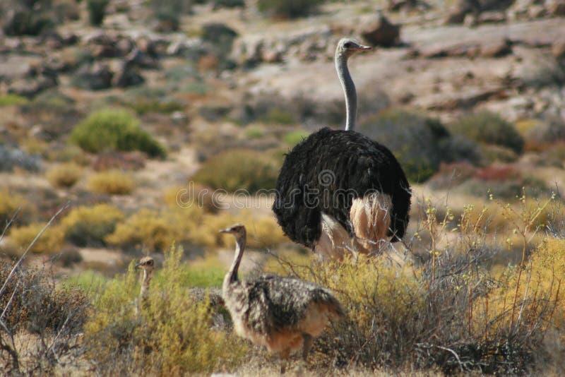 Struisvogelfamilie stock afbeeldingen