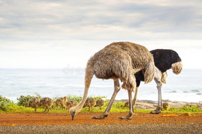 Struisvogelfamilie stock foto