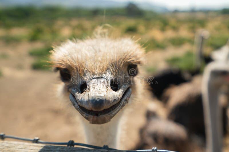 Struisvogelglimlach, Portret van Struisvogel royalty-vrije stock afbeelding