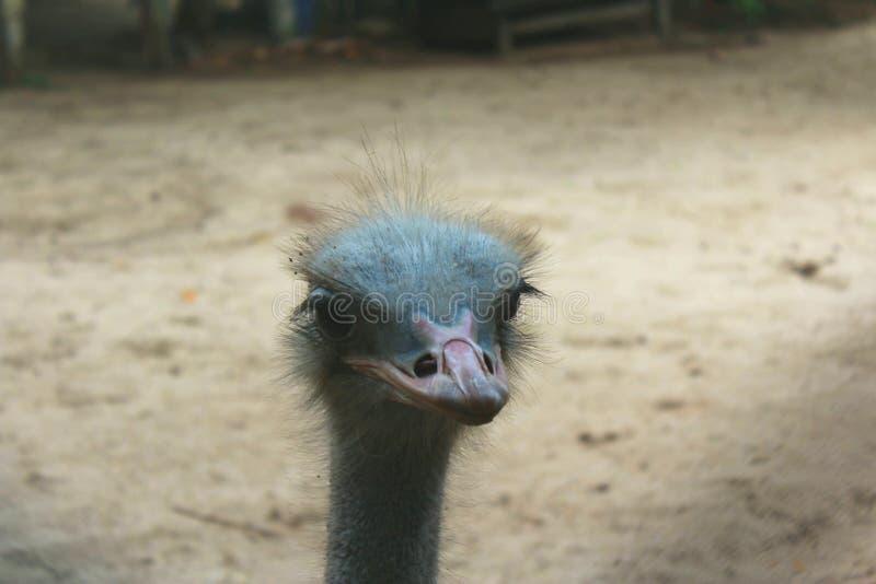 Struisvogelhoofd van dichte waaier royalty-vrije stock fotografie
