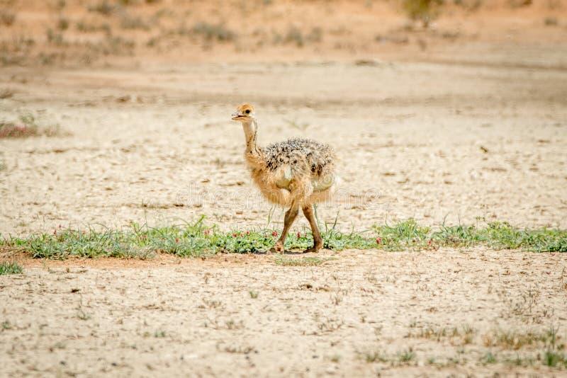 Struisvogelkuiken die in het zand lopen stock afbeeldingen