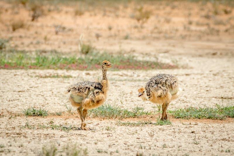 Struisvogelkuikens die in het zand lopen stock fotografie