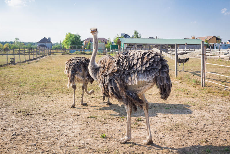 Struisvogelvogels die op het platteland van het struisvogellandbouwbedrijf lopen royalty-vrije stock foto's
