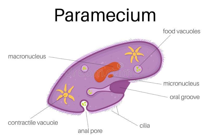 TheÂ-Struktur ofParamecium vektor abbildung