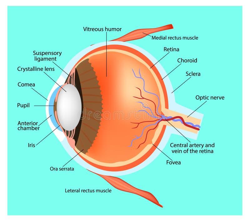 Struktur av ögat stock illustrationer