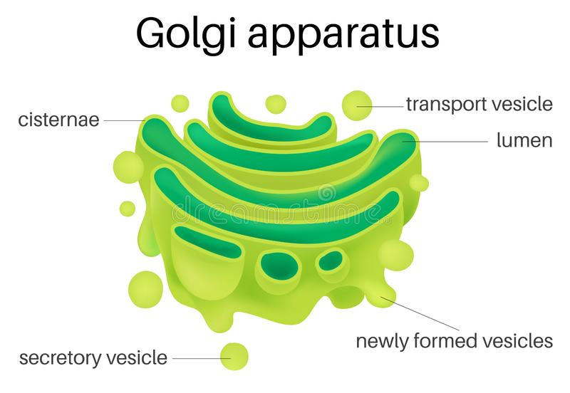 Struktur av den Golgi apparaturen stock illustrationer