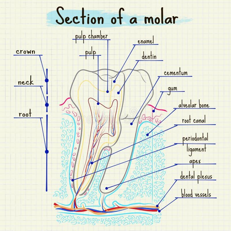 Struktur av den mänskliga tanden stock illustrationer