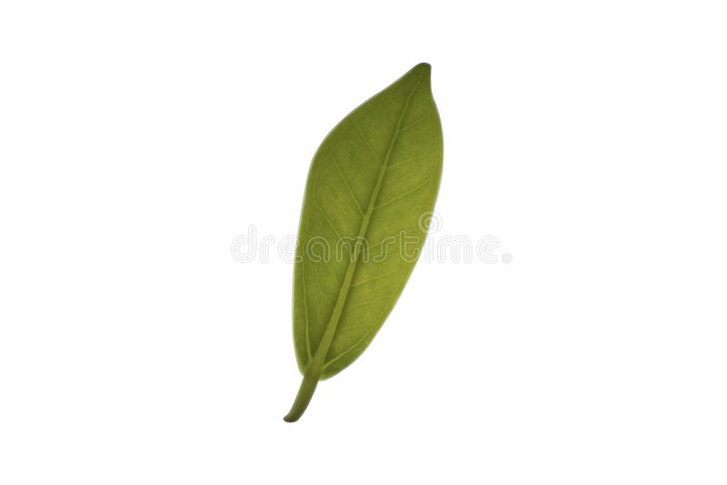 Struktur av det gröna bladet som isoleras på vit bakgrund royaltyfria bilder